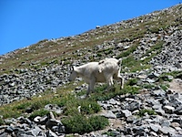 20110813-MountainGoatOnGrays.jpg